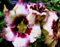 Adenium Obesum 'Purple Eyes' 5 Seeds