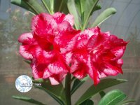 Adenium Obesum 'Excellent Lover' x 5 Seeds