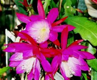 Epiphyllum Seeds [Orchid Cactus] 'Punch Bowl' 10 Seeds