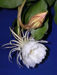 Epiphyllum Seeds [Orchid Cactus] 'Oxypetalum' 10 Seeds