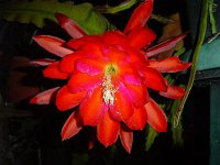 Epiphyllum 'Super Chief' 5 Seeds