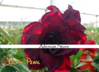 New Adenium 'Black Pearls' 5 Seeds
