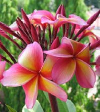 Plumeria Rubra Pattaya Star x 6 Seeds