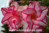 Adenium Seeds 'Double Amour' 5 Seeds