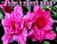 Adenium Obesum 'Triple Honey Rose' 5 Seeds