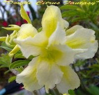 Adenium Obesum Double Citrus Fantasy 5 Seeds