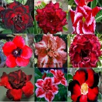 Adenium Obesum 'Red Mix' x 10 Seeds