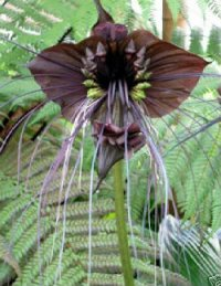 Tacca Bat Plant Seed Germination & Growing Guide