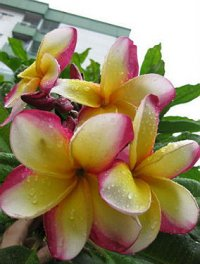 Plumeria Seeds 'Giant Yellow Fancy' (6 Seeds)