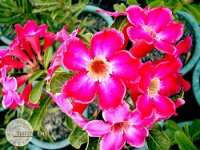 Adenium Obesum 'Optimise' x 5 Seeds