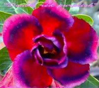 Adenium Obesum 'Double Red Purplish' (5 Seeds)