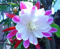 Epiphyllum 'Clown' 5 Seeds
