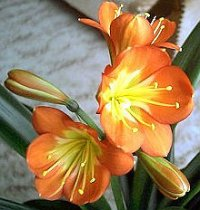 Clivia Seed Germination & Growing Guide