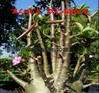 Adenium Arabicum 'Black Dragon' 5 Seeds