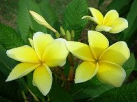 Yellow Gold Plumeria (6 Seeds)