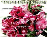 Adenium Obesum 'Triple Bright Canyon' 5 Seeds