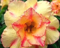 Adenium Obesum 'Double Orange Five' 5 Seeds