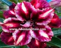 Adenium Obesum 'Double Sour Grapes' 5 Seeds