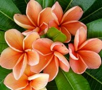 Plumeria Rubra 'Orange Bouquet' 6 Seeds