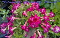 New Adenium 'Double Candle Bush' 5 Seeds