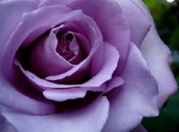 Purple Rose Violetta 10 Seed