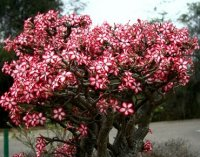 Adenium Multiflorum 5 Seeds