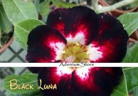 New Adenium 'Black Luna' 5 Seeds
