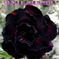 Adenium Obesum Triple Black Panther 2' 5 Seeds
