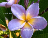 A Plumeria Seed Germination Guide