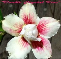 Adenium 'Double Crystal Kiss' 5 Seeds