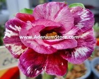 Adenium Obesum 'Double Beauty Party' 5 Seeds