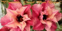 Adenium 'Double Just For You' 5 Seeds