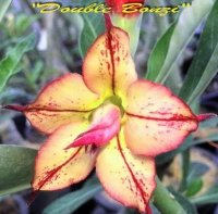 Adenium 'Double Bonzi' 5 Seeds
