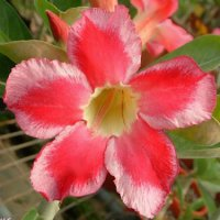 Adenium Obesum 'Beauty Cloud 1' x 5 Seeds
