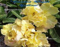 Adenium Obesum 'Quattro Royal Yellow' 5 Seeds