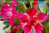 Adenium 'Double Easy Glamour' 5 Seeds
