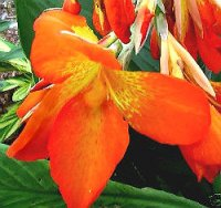 Canna Lily Seeds 'Orange Punch' 5 Seeds