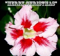Adenium Merry Christmas 5 Seeds