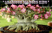Adenium Arabicum Diamond King 5 Seeds