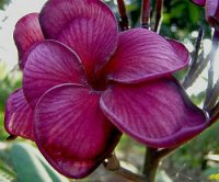 Plumeria Seeds 'Black Tiger' (6 Seeds)