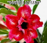 Adenium 'Double Ai Lian' 5 Seeds