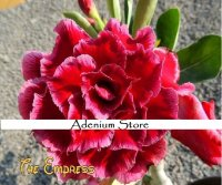 Adenium Obesum 'The Empress' 5 Seeds