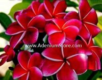 Dream Angels Plumeria 6 Seeds