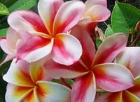 Plumeria Seeds 'Diamond Rainbow' 6 Seeds