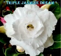 Adenium Obesum 'Triple Jasmine Dream Fragrant' x 5 Seeds