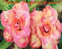 Adenium Obesum 'Triple Tropical Sunset' 5 Seeds