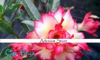 New Adenium 'Ciao Bella' 5 Seeds