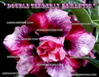 Adenium Obesum 'Double Tenderly Romantic' 5 Seeds