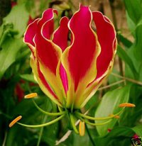 Gloriosa Superba Seeds 'Rotschildiana' 5 Seeds