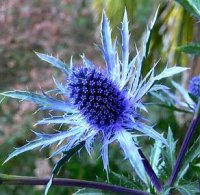 Eryngium 'Electric Sea Holly' 5 Seeds